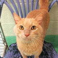 Adopt A Pet :: Custard(Declawed) - Annapolis, MD