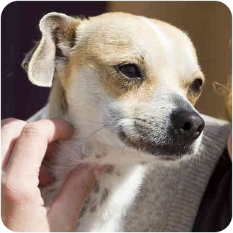Chihuahua/Jack Russell Terrier Mix Dog for adoption in Berkeley, California - Cheerio