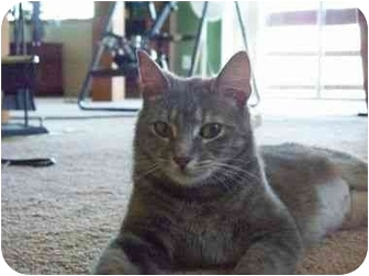 Domestic Shorthair Cat for adoption in Reston, Virginia - Mollie