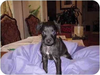 Chihuahua/Poodle (Miniature) Mix Puppy for adoption in San Diego, California - Ace