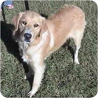 Golden Retriever Mix Dog for adoption in Hamburg, Pennsylvania - Lexi