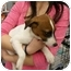 Photo 3 - Jack Russell Terrier Puppy for adoption in Lonedell, Missouri - Logan