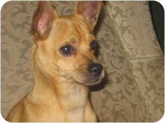 Chihuahua Mix Dog for adoption in Salem, Oregon - Banjo