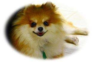 Pomeranian Dog for adoption in Kansas City, Missouri - Bailey