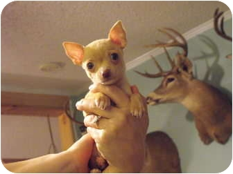 Chihuahua/Chihuahua Mix Puppy for adoption in Wilminton, Delaware - Alex