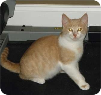 Domestic Shorthair Kitten for adoption in Barnegat, New Jersey - Oscar