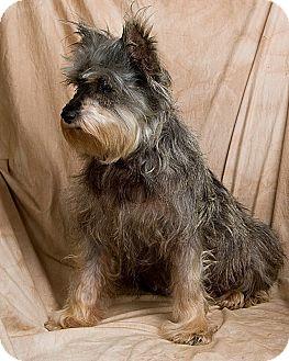 Schnauzer (Miniature) Dog for adoption in Anna, Illinois - MOLLY