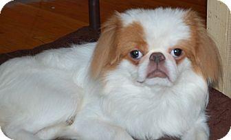 Japanese Chin Dog for adoption in Raritan, New Jersey - Jax