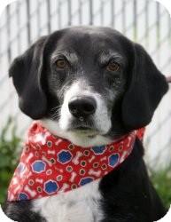 Beagle Mix Dog for adoption in Indianapolis, Indiana - Bochepus (Bo)