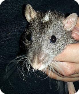 Rat for adoption in Lakewood, Washington - Agouti Oval Rex