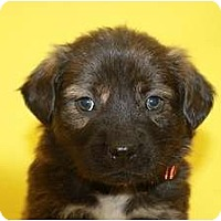 Adopt A Pet :: Maple - Broomfield, CO