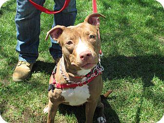 American Pit Bull Terrier Mix Dog for adoption in Oakland Gardens, New York - Mckenzie