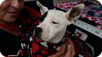 Rat Terrier/Pit Bull Terrier Mix Dog for adoption in West Allis, Wisconsin - Lassy Jayne