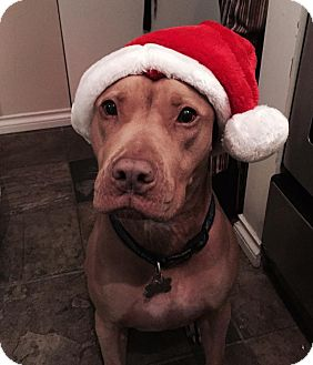 Pit Bull Terrier Mix Dog for adoption in Vancouver, British Columbia - Nino
