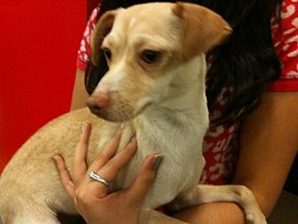 Terrier (Unknown Type, Medium)/Chihuahua Mix Dog for adoption in Fresno, California - SunnyBear