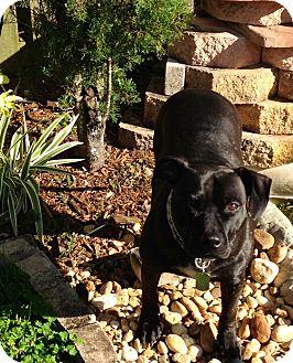 American Staffordshire Terrier/Labrador Retriever Mix Dog for adoption in Fort lauderdale, Florida - DANNI