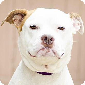 Pit Bull Terrier/American Bulldog Mix Dog for adoption in Adrian, Michigan - Sasha