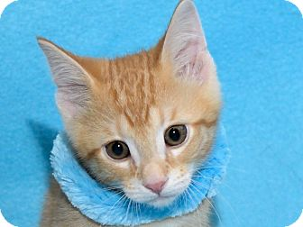 Domestic Shorthair Kitten for adoption in Warren, Michigan - Pumpkin