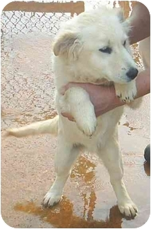 Chow Chow Mix Dog for adoption in Greenville, Alabama - Happy