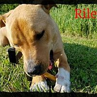 Adopt A Pet :: Riley - Old Saybrook, CT