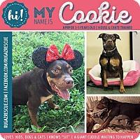 Adopt A Pet :: Cookie - New Port Richey, FL