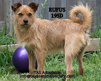 Terrier (Unknown Type, Small)/Terrier (Unknown Type, Small) Mix Dog for adoption in Spring, Texas - Rufus