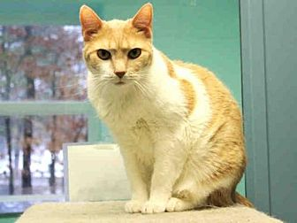 Domestic Shorthair Cat for adoption in Hampton Bays, New York - GUS