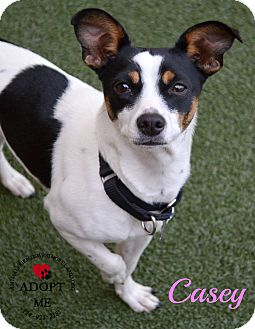 Rat Terrier Mix Dog for adoption in Youngwood, Pennsylvania - Casey