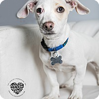 Adopt A Pet :: Wishbone - Inglewood, CA