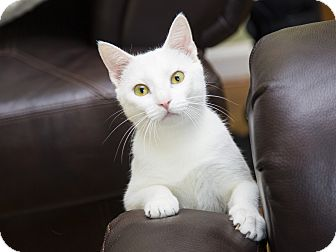 Oriental Cat for adoption in Nashville, Tennessee - Winter