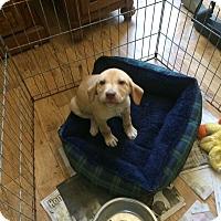 Adopt A Pet :: Nugget - Hohenwald, TN