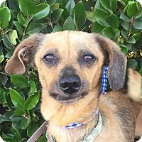 Adopt A Pet :: PETUNIA - Irvine, CA