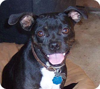 Boston Terrier Mix Dog for adoption in Guthrie, Oklahoma - Dot