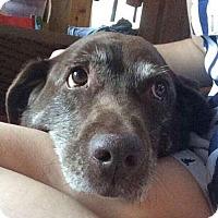 Adopt A Pet :: Saga - Senior Lab Being Dumped - Millbrook, NY