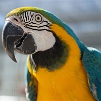 Macaw for adoption in Elizabeth, Colorado - Lucy