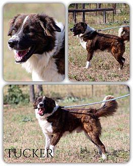 Border Collie Mix Dog for adoption in DeForest, Wisconsin - Tucker