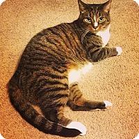 Domestic Mediumhair Cat for adoption in Troy, Ohio - PJ