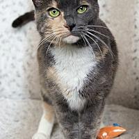 Adopt A Pet :: Zsa Zsa - St Louis, MO