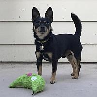 Adopt A Pet :: Velcro - Palo Alto, CA