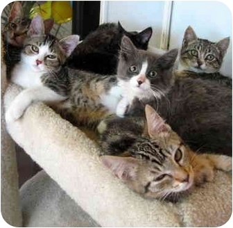 Domestic Shorthair Kitten for adoption in Portland, Oregon - SPECIAL ON KITTENS!