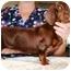 Photo 2 - Dachshund Dog for adoption in Seneca, South Carolina - HERSHEY