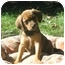 Photo 4 - Beagle/Hound (Unknown Type) Mix Puppy for adoption in Jacksonville, Florida - Cowboy