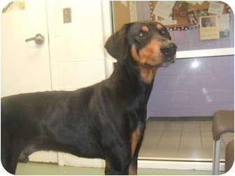 Doberman Pinscher Dog for adoption in Fairfield, Texas - Jaycee  (Referral Dog)