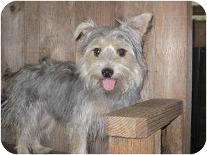 Yorkie, Yorkshire Terrier/Havanese Mix Dog for adoption in New Milford, Connecticut - Shadow