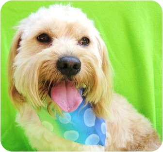Havanese/Terrier (Unknown Type, Small) Mix Dog for adoption in Irvine, California - Marley