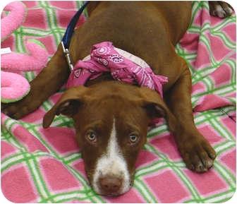 American Staffordshire Terrier/Labrador Retriever Mix Puppy for adoption in Sacramento, California - Buttercup cute