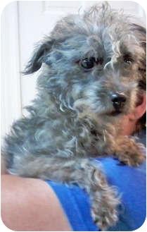 Schnauzer (Miniature)/Poodle (Miniature) Mix Dog for adoption in Mt. Prospect, Illinois - Corky