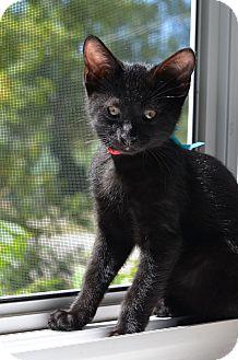 Russian Blue Kitten for adoption in Xenia, Ohio - William