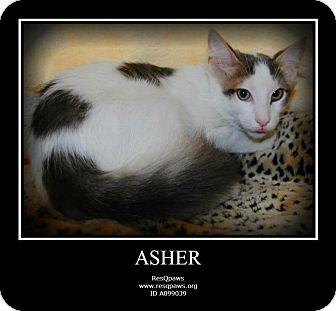 Turkish Van Cat for adoption in Yuba City, California - Asher