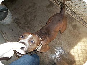 American Pit Bull Terrier Mix Dog for adoption in Henderson, North Carolina - Elmo